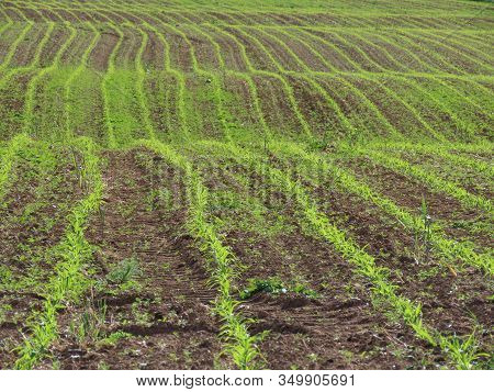 Field Of Corn Sprouts Germinating, Sun From Behind Results In Hi-vis Color