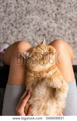 Persian Cat Laying On Womans Knees, Top View. Cat And Girl Friendship. Fluffy Exotic Shorthair Cat W