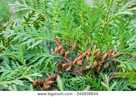 Close Up Of Cypress Cedar Tree Branch With Bunch Of Brown Cones. Thuja Occidentalis Bush Is Evergree