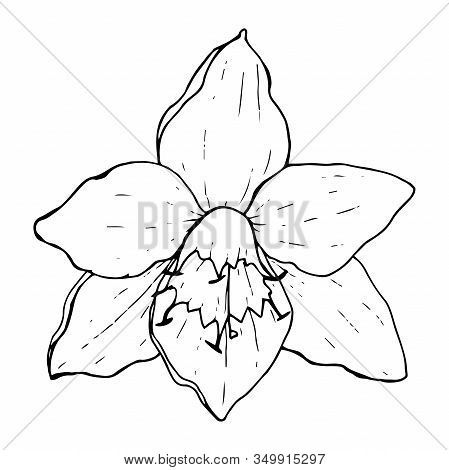White Flower Eucharis (amazonian Lily), Black Contour On A White Background Isolated, Stock Vector I