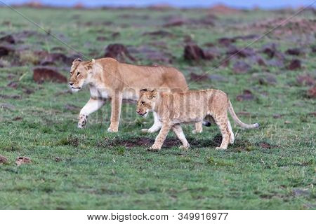 Lioness and cub walking through the Masai Mara at dusk. Selective focus on lion cub.