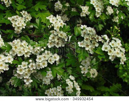 Crataegus Monogyna. Detail Of Hawthorn Bush, Ohter Common Names Oneseed Hawthorn, Or Single-seeded H