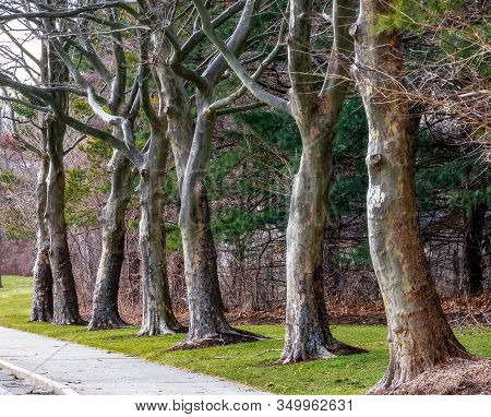 Perspective View Of The Tree Alley In Quincy, Massachusetts On A Winter Day