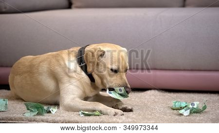 Disobedient Labrador Dog Chewing Euro Banknotes, Lying On Floor, Pet Misbehavior