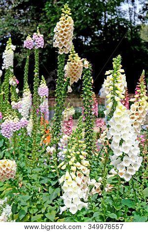 Beautiful Digitalis Also Known As Foxglove Plant In Royal Botanic Gardens, Sydney, Australia