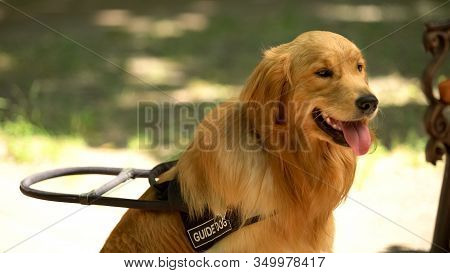 Cute Golden Retriever Sitting In Park, Guide Dog For Visually Impaired People
