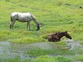 Horse taking a bathe in a green grass farm poster