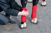 Bandaging of horses' legs with a red bandage. poster