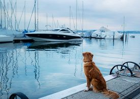 Dog At The Marina, Yacht Club. Pet At Sea. Animal On The Background Of Boats. Nova Scotia Duck Tolli