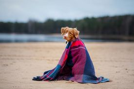 Red Dog Is Covered Under A Large Color Scarf. Pet Protection For A Walk. Nova Scotia Duck Tolling Re