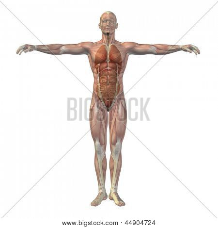 High resolution concept conceptual 3D human man structure with internal organs,digestive,lungs and circulatory system isolated on white background