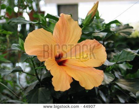 Yellow Hibiscus In Full Bloom.
