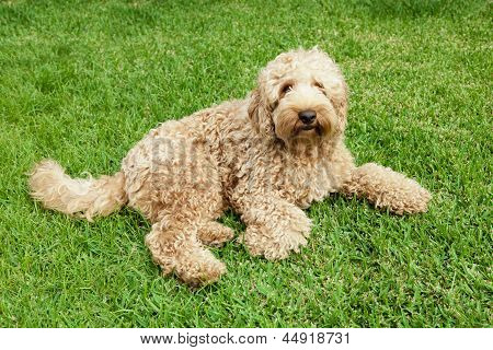 Labradoodle In Grass