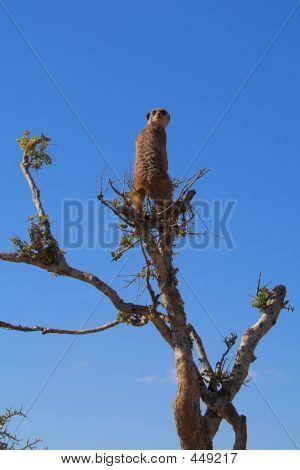 Meerkat Scout