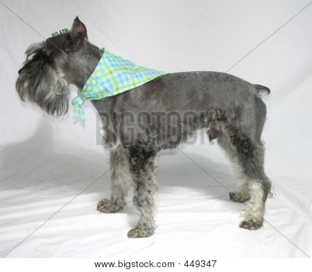 Profile Of A Male Schnauzer