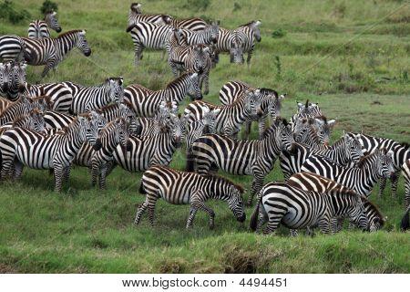 Zebra Herde Serengeti Tansania