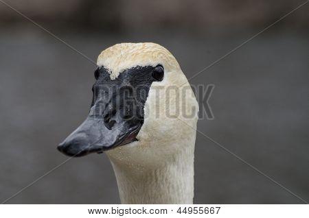Trumperter Swan