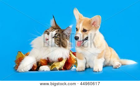 Cat and dog, Cat  maine coon and  corgi puppy