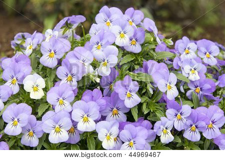 Bunch Of Pansy Flowers