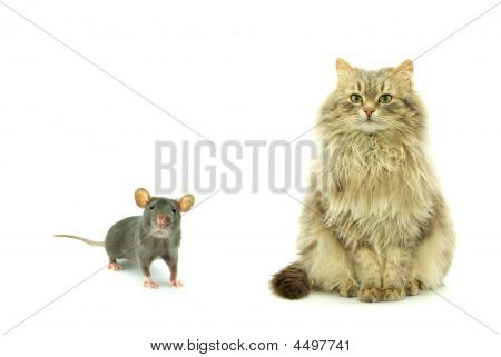 funny rat and cat isolated on a white background poster