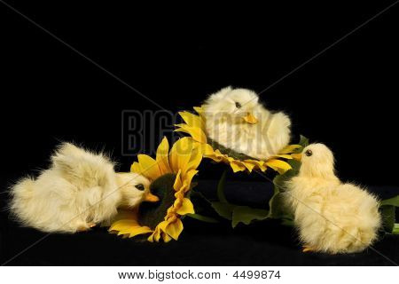 Baby Ducks And Sunflowers