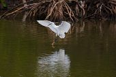 A Western Reef Heron (uncommon white morph) at point of landing in mangroves poster