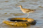 A whimbrel surveying the shore from atop a discarded tire poster