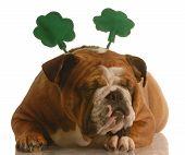 st. patricks day - english bulldog wearing st. patricks day headband poster