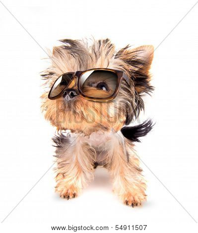 baby dog with fashion shades on a white background poster