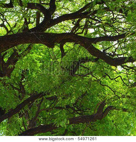 Jacaranda Tree Crown
