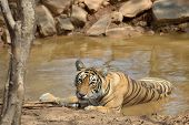 Bengal Tiger relaxing in a waterhole, looking at camera poster