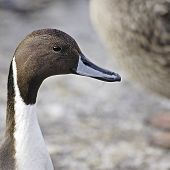 A close-up portrait of a Northern Pintail Drake (Anas acuta) in breeding plumage. poster