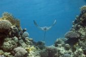 eagle ray taken in the red sea. poster