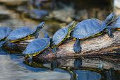 Water turtles in row marching on a log poster
