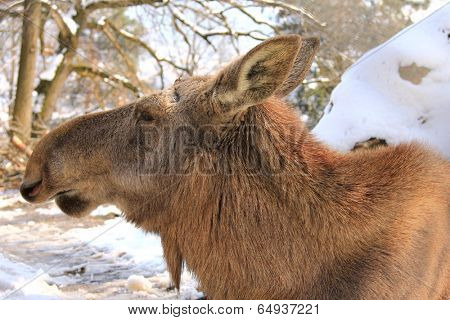 Close up head shot of A female moose - Eurasian elk, lives in the Alps