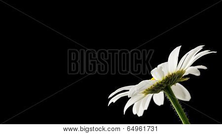 Daisy On Black Background