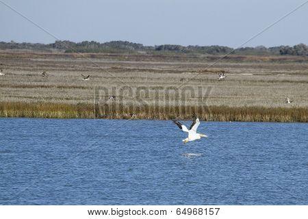 White Pelican in Aransas Pass