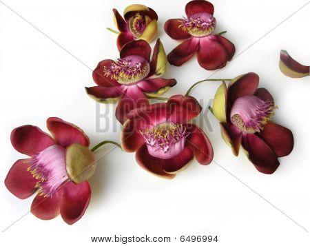 Cannonball Flower Twenty Three