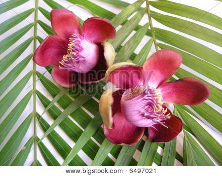 Cannonball Flower Twenty Eight