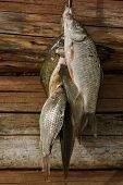 A bunch of carp on the background of wooden logs closeup poster