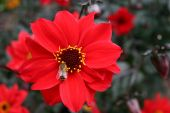 close up of bee on red daisy flowers poster