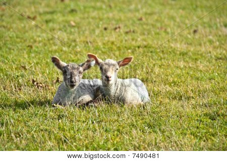 Two Lambs Lay Side By Side In A Field
