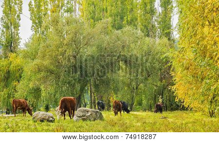 Herd of cows grazing in the autumn forest on a sunny October day poster