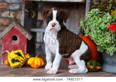 Brown and White Boxer puppy sitting with Autumn decorations