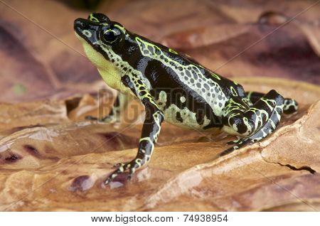Stubfood toad / Atelopus spumarius
