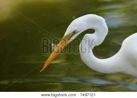 White Heron feeding