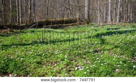 Springtime Wood Anemone Flowers