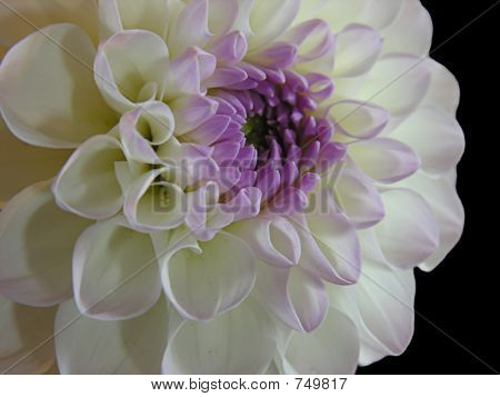 White and Purple Dahlia