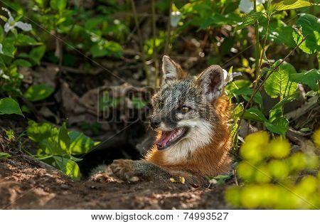 Grey Fox Vixen (urocyon Cinereoargenteus) Lies In Entrance Of Den