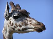 Portrait of a giraffe with a clear blue sky as background poster